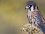American Kestrel (Falco Sparverius) Colorado  USA