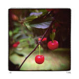 Jacquie's Cherries