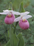 Showy Lady Slipper  Cypripedium Reginae  Orchidaceae  North America