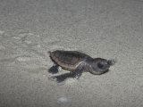 Recently Hatched Loggerhead Sea Turtle (Caretta Caretta) Crawling to the Sea from its Nesting Site