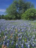 Meadow of Paintbrush and Texas Bluebonnet Spring Wildflowers, Hill Country, Texas, USA Papier Photo par Adam Jones