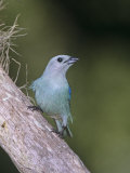 Blue-Gray Tanager (Thraupis Episcopus)  Venezuela  South America