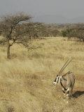 Oryx in its Savanna Habitat  Oryx Beisa  Samburu  Kenya  Africa