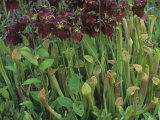 Pitcher Plants in Flower  Sarracenia Rubra  Eastern USA