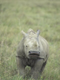 White Rhinoceros Calf  Ceratotherium Simum  an Endangered Species  Kenya  Africa