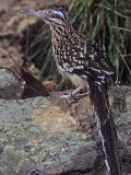Greater Roadrunner  Geococcyx Californianus  Southwestern USA