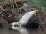 Yellow-Billed Cuckoo Drinking (Coccyzus Americanus)  North America