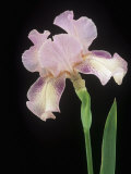 Tall Bearded Queen Calico (Iris Germanica) Flower