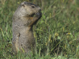 Woodchuck or Groundhog  Marmota Monax  Eating  North America