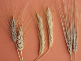 Cereal Grains  Left to Right  : Wheat  Rye  and Barley