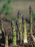 Young Asparagus Plants Growing  Asparagus Officinalis