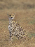 Cheetah  Acinonyx Jubatus  Surveying the Landscape for Prey  East Africa