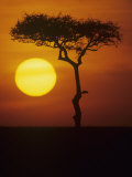 Twilight on the East African Savanna with a Flat-Topped Acacia