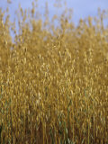 Oats Ready for Harvesting (Avena Sativa)