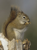 A Red Squirrel Eating Seeds  Tamiasciurus Hudsonicus  Eastern North America
