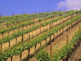 Vineyard  Sonoma Valley  California  USA
