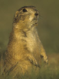Black-Tailed Prairie Dog Sitting in its Grassland Habitat  Cynomys Ludovicianus  Western USA