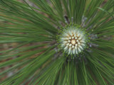 Needles and Terminal Buds of the Longleaf Pine  Pinus Palustris  Southeastern USA