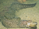 A Spotted Moray Swallowing Fish Prey  Gymnothorax Moringa  Caribbean Sea