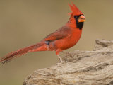 Male Northern Cardinal  Cardinalis Cardinalis  North America
