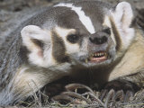 American Badger Snarling and Showing Showing its Long  Digging Claws  Taxidea Taxus  North America
