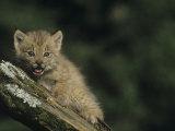 Canada Lynx Kitten  Lynx Canadensis  North America