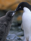 Adelie Penguin Adult Feeding its Chick  Pygoscelis Adeliae  South Orkney Islands