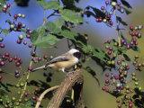 Carolina Chickadee (Poecile Carolinensis) in Wild Grapes  USA