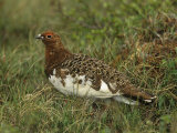 Male Rock Ptarmigan in its Summer Plumage (Lagopus Mutus)  North America