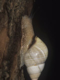 Florida Tree Snail (Liguus Fasciatus) Feeding on Algae and Fungi  Florida  USA