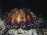 Fire Sea Urchin  Asthenosoma  Tropical South Pacific Ocean