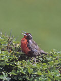 Long-Tailed Meadowlark Singing (Sturnella Loyca Falklandica)  Falkland Islands