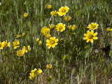 Smooth Tidy-Tips (Layia Chrysanthemoides) Is Native to and Endemic to California