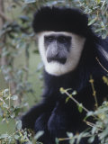 Black and White Colobus Monkey Face  Colobus Angolensis  Kenya  Africa