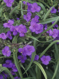 Spiderwort (Tradescantia Virginiana)  North America