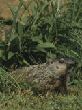 Woodchuck or Groundhog Vocalizing  Marmota Monax  North America