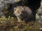 Canada Lynx Kitten at its Den  Lynx Canadensis  North America