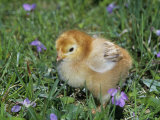 Rhode Island Red Chick  Gallus Domesticus  USA