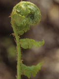 Fiddlehead of Southern Shield Fern  Dryopteris Ludoviciana  Eastern USA