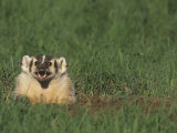 American Badger  Taxidea Taxus  Snarling at its Burrow Opening  North America
