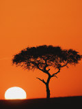 Accacia Tree Silhouetted at Sunrise  Masai Mara Game Reserve  Kenya