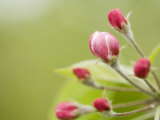 Apple Blossom Buds About to Open in the Spring