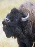 American Bison  Bison Bison  Vocalizing  North America