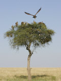 Vultures in an Acacia Tree on the Savanna  Maasai Mara  Kenya  Africa