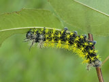 Saturnid Moth Caterpillar Eating a Leaf (Leucanella Lynx)  Ecuador