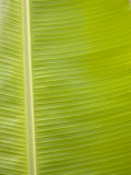 Close-Up of a Bright Green Banana Leaf