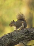 Gray Squirrel  Sciurus Carolinensis  Eastern USA
