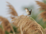 Marsh Wren (Cistothorus Palustris) Singing  North America
