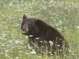 Black Bear in a Mountain Wildflower Meadow  Ursus Americanus  North America