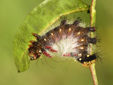 Moth Caterpillar (Eacles Masoni Tyrannus) 3rd Instar Brown Form Eating Leaf